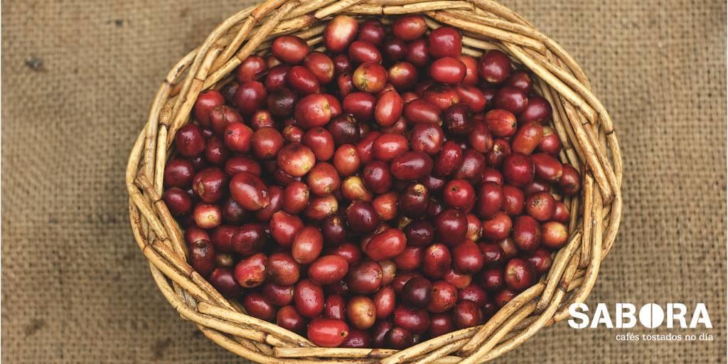 Café en Cerezas recién recogido