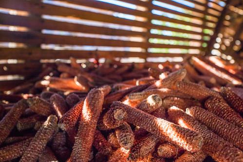 Barn full of bare corn cobs
