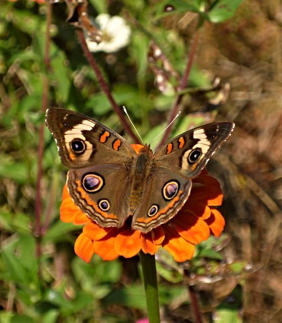 Buckeye on orange flower