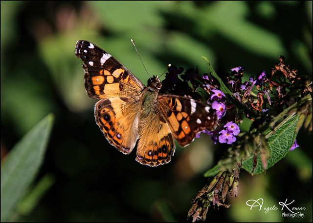 Painted Lady Butterfly...