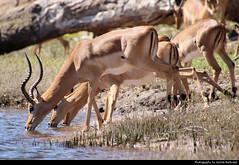 Springboks, Chobe NP, Botswana