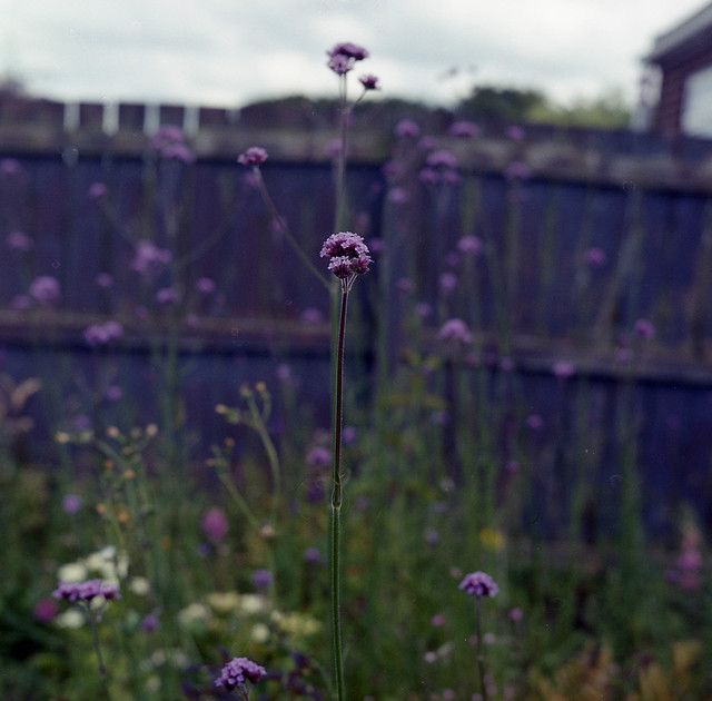 My wild and messy garden, Mamiya C220, Lomo 400, Bellini C41 Kit