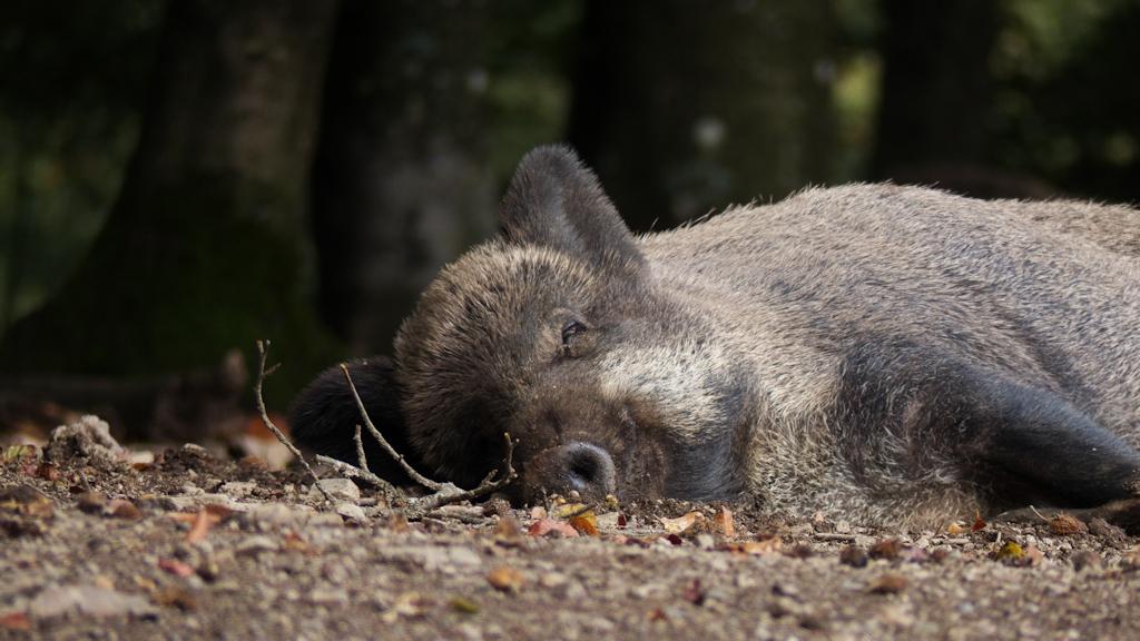 Ruhendes Wildschwein 2