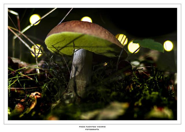El Boletus y las luciérnagas