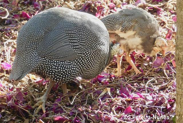 Guineafowl, Galinha d'Angola no Parque Gramercy, Alphaville, SP, Brazil