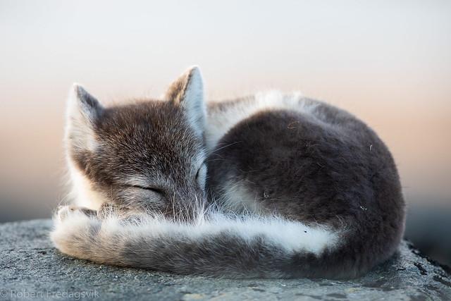 Fjellrev - Arctic fox
