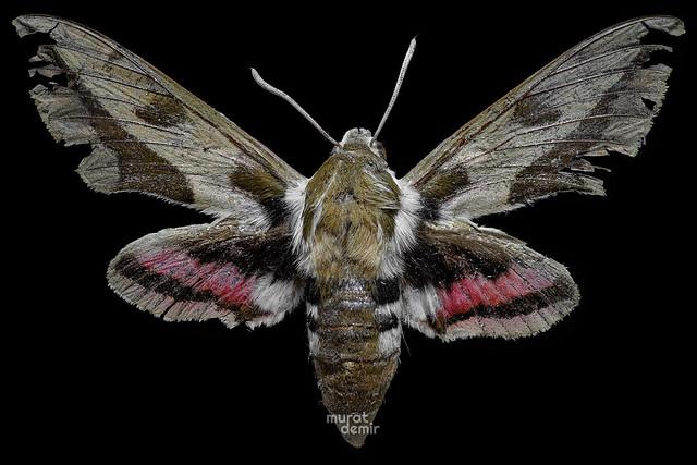 moth53
