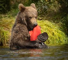 Brown Bear_19_0735.jpg