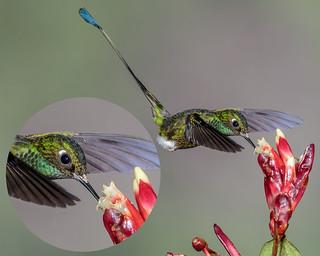 Hummingbird Flower Mites