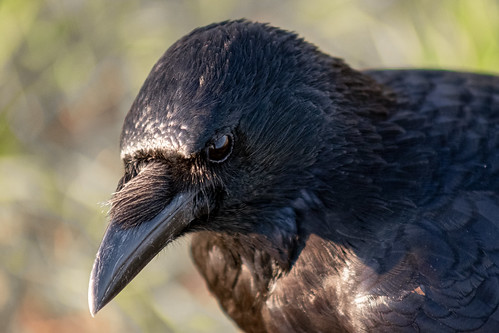 Portrait of a crow