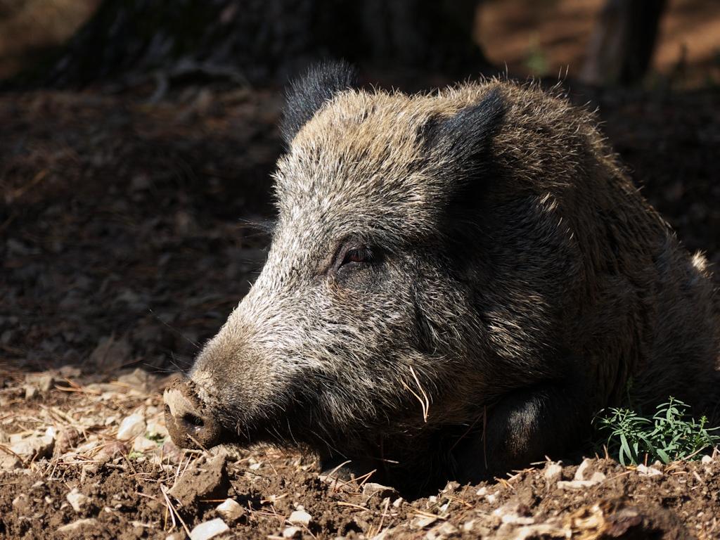 Ruhendes Wildschwein 1