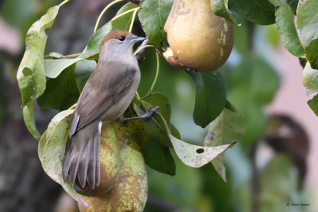 Mönchsgrasmücke fressen auch Birnen (P01)