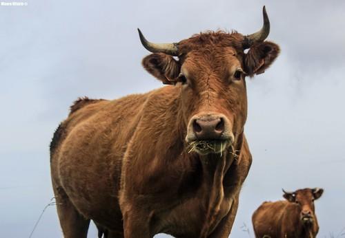 Cow Clone
