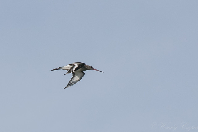 Black Tailed Godwit-1266