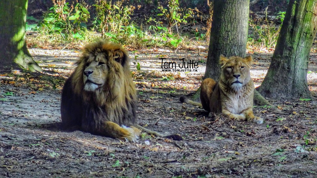 Lion King, Burgers Zoo, Arnhem, Netherlands - 4555