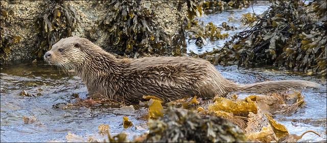 Mull 2019 - Otter