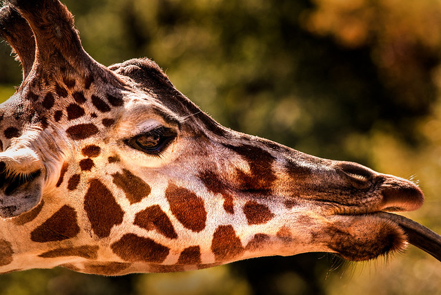 Giraffe Macro 3-0 F LR 10-5-19 J185