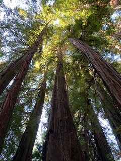 Big Sur redwoods!
