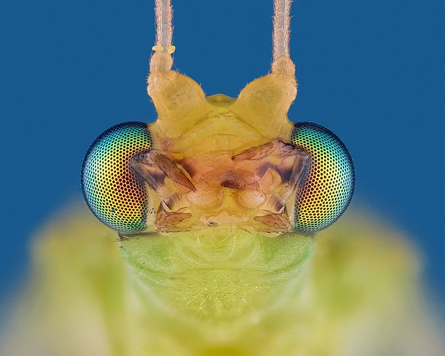 Lacewing at a 10x magnification