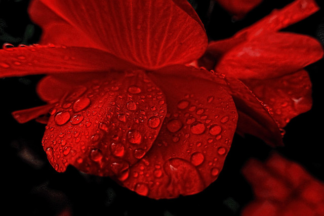 Deep red in the rain