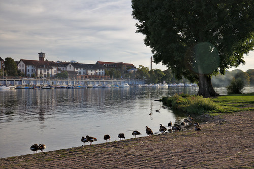 heidelberg germany river neckar birds ducks water green sunset light landscape composition colors