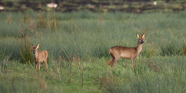 Roe deer mum and youngster