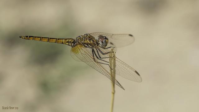 Trithemis annulata. Young male