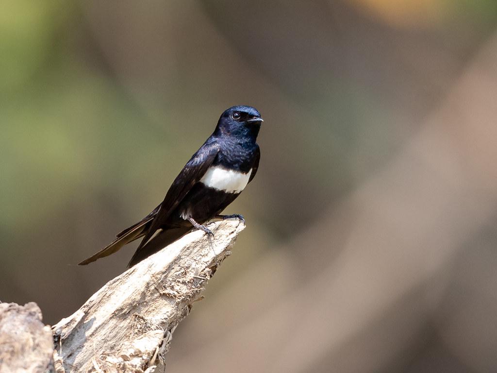 White-banded Swallow/Peitoril/Golondrina pectoral (Atticora fasciata)