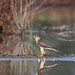 Falco smeriglio