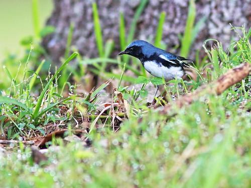 Black-throated Blue Warbler male 093-20191009