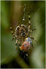 Spider With Ladybird.