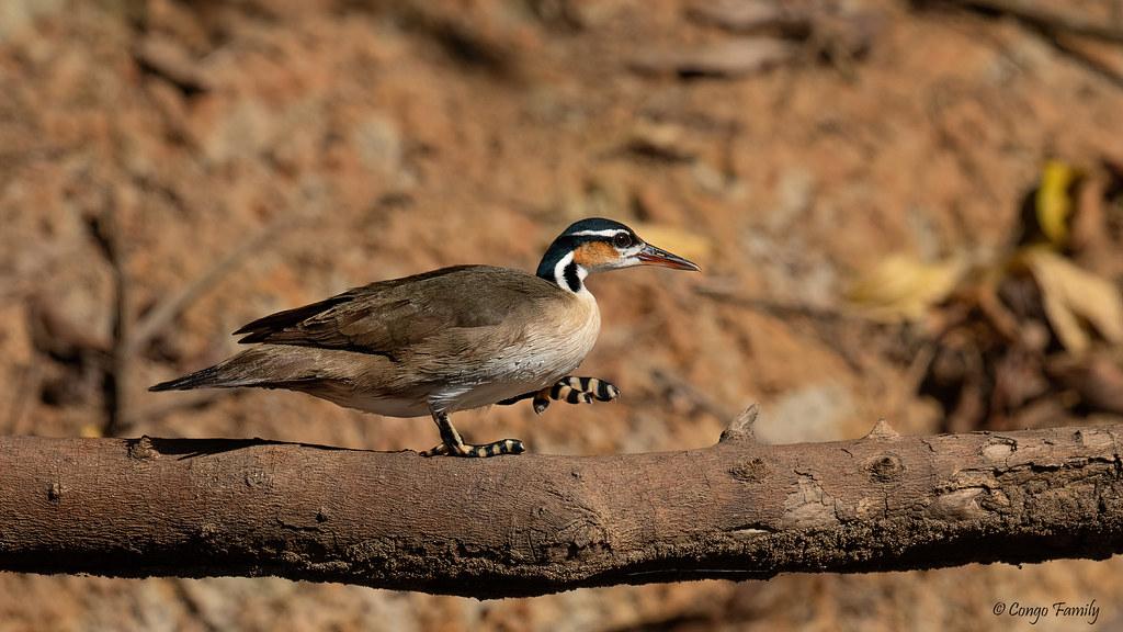 Imagen de una de las aves del Quindio: Avesol Americano (Heliornis fulica)