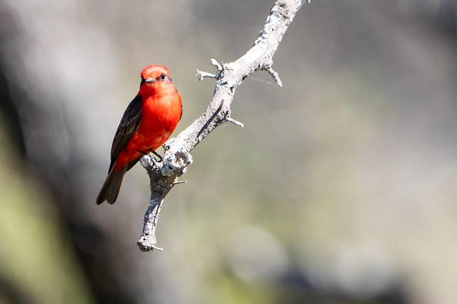 Churrinche - Vermilion flycatcher