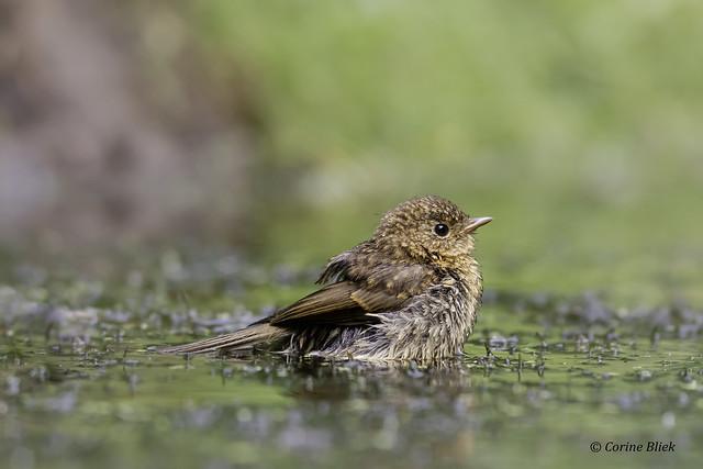 Juvenile Robin having a bath