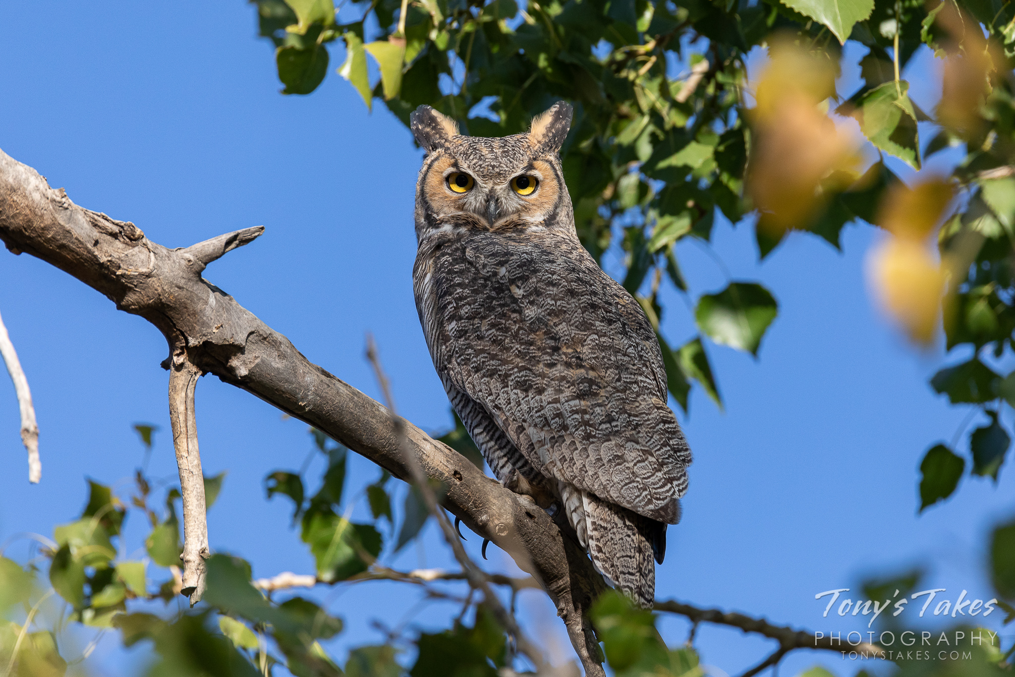 A great horned owl pays close attention on a mild, fall day in Colorado. (© Tony's Takes)