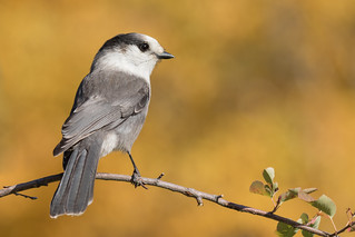 Mésangeai du Canada  -  gray Jay  EXPLORE 2019-10-11