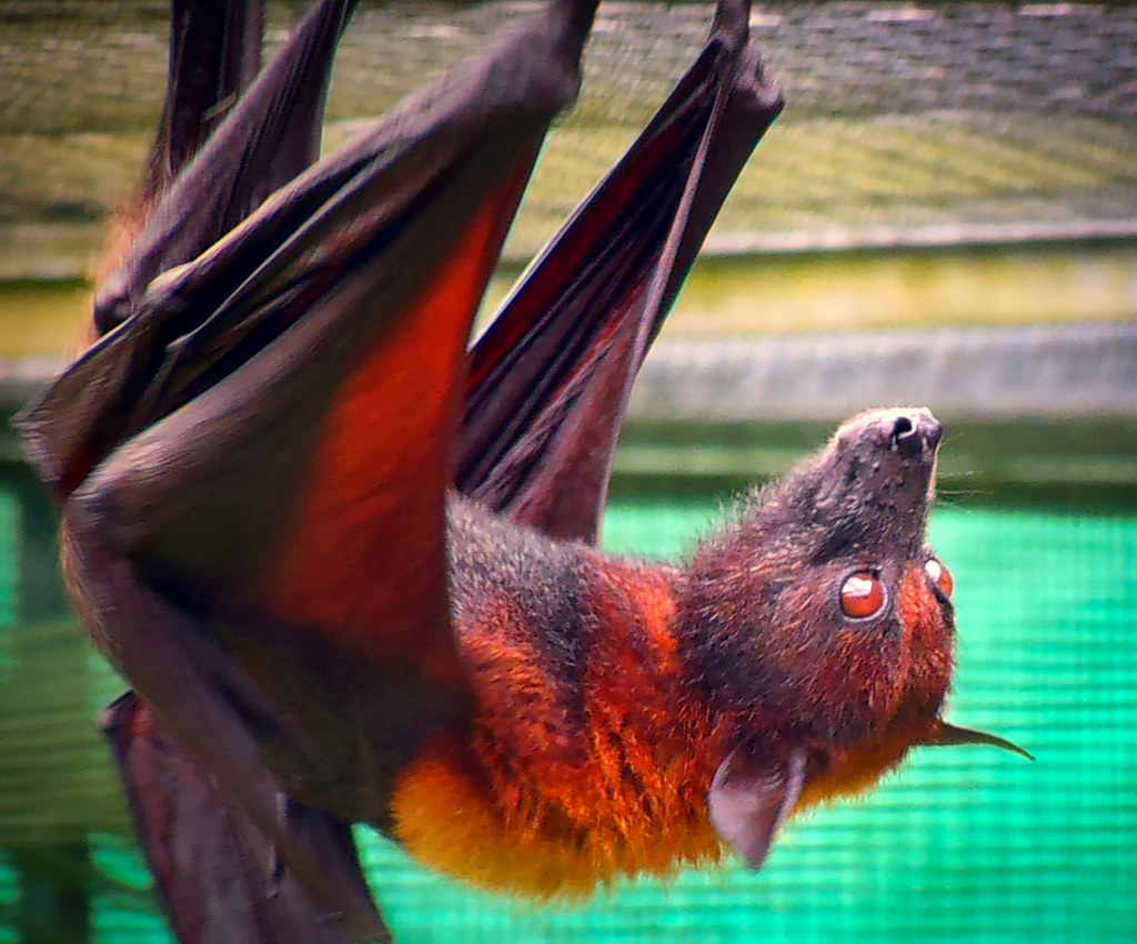 Small Flying Fox.alt