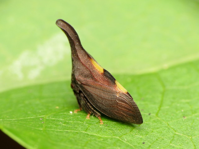 Membracidae7934