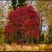 Rött Träd