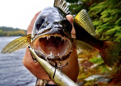 Catching Fall Walleyes From Shore
