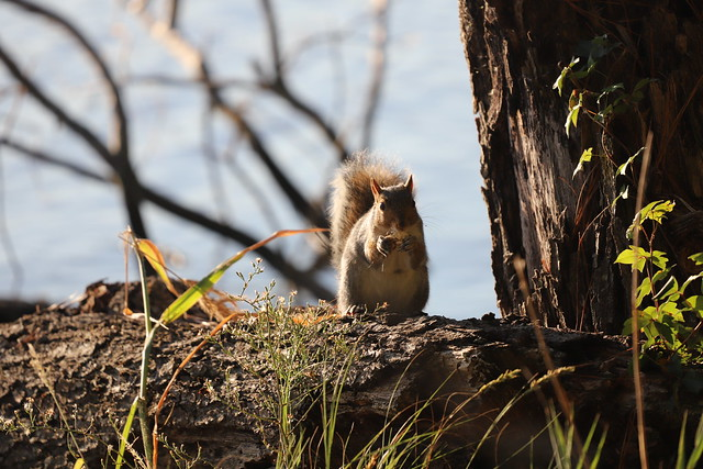 Delmarva Peninsula Fox Squirrels During My Visit to Blackwater National Wildlife Refuge (Dorchester County - near Cambridge, Maryland) - October 10th, 2019