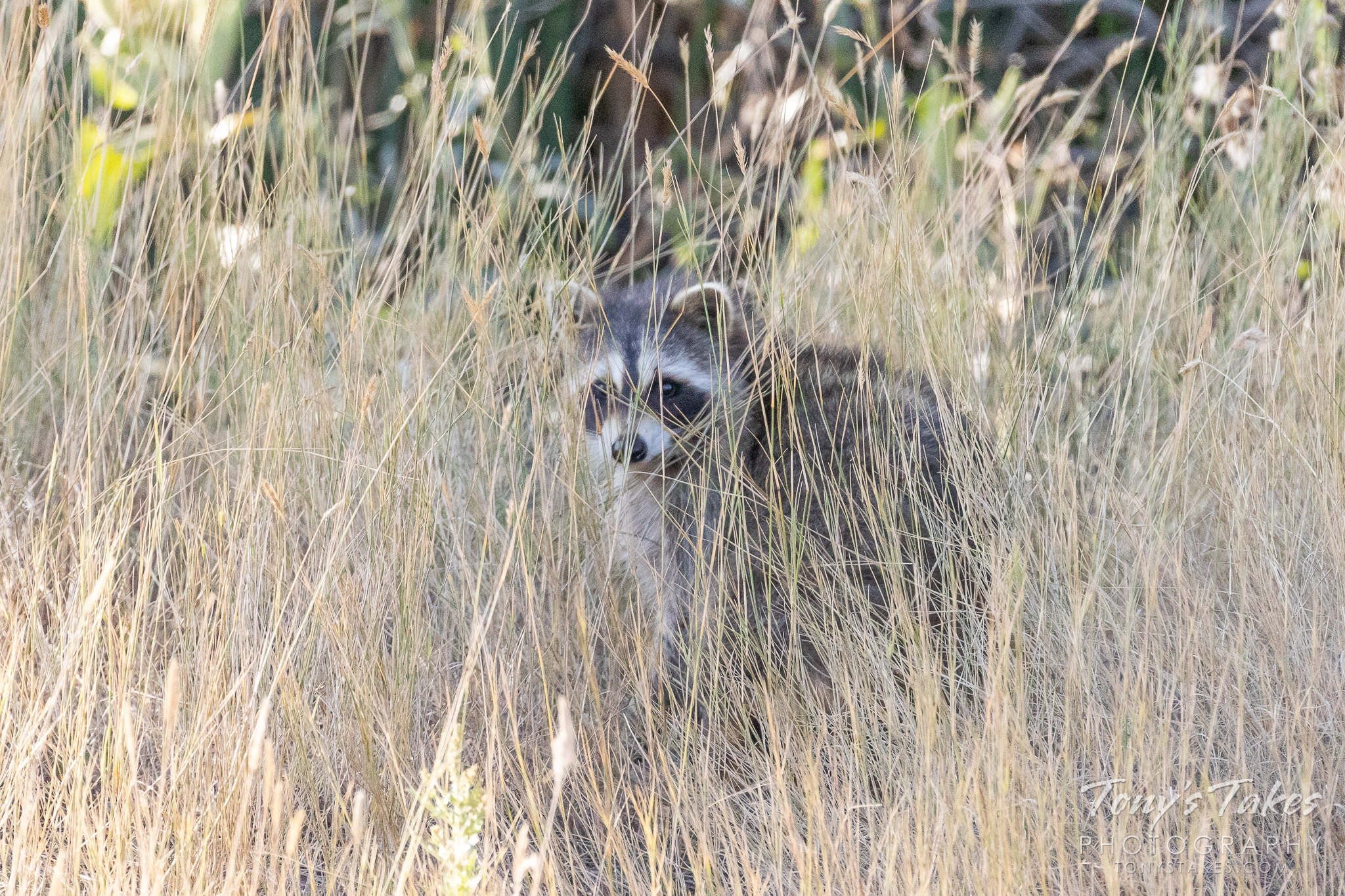 Raccoon hides in the grass