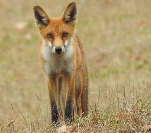 Deadly Beauty - Feral Fox