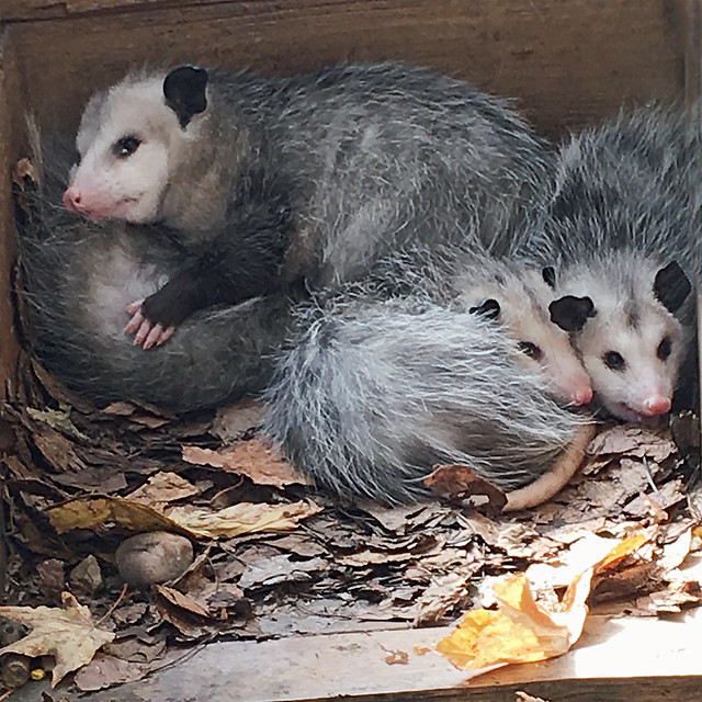 Cute Baby Opossums