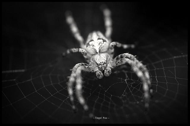 Spider in Black & White