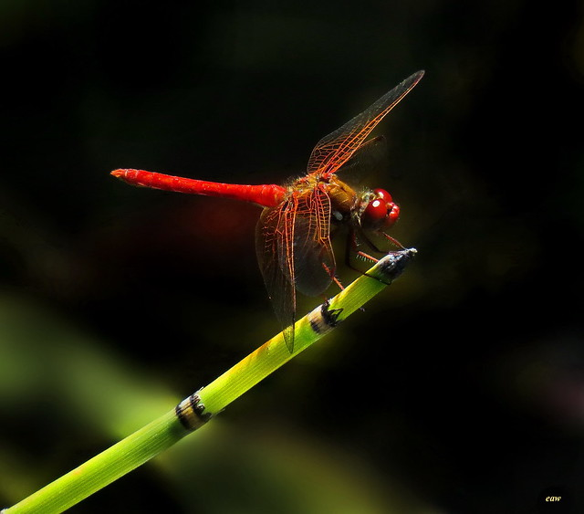 Red-veined Meadowhawk 2024