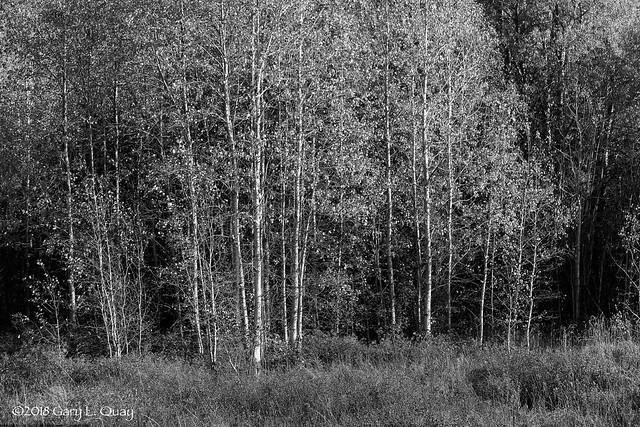 Autumn Birches Near Trout Lake, Washington