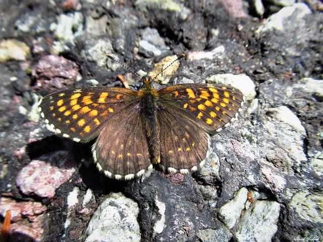 Butterfly 1883