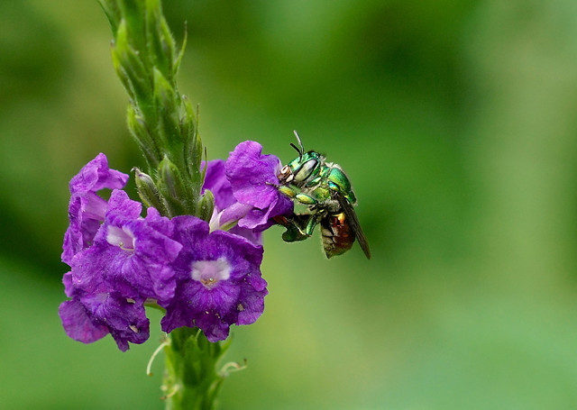 Orchid Bee --- Euglossa sp
