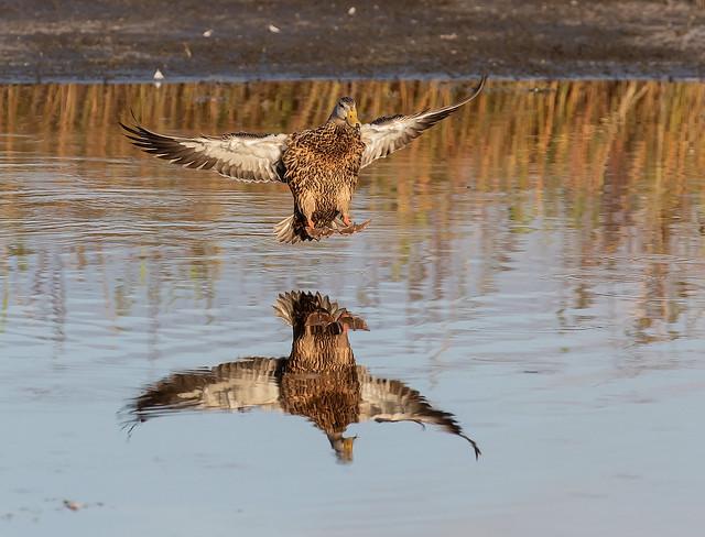 Mottled Duck Land